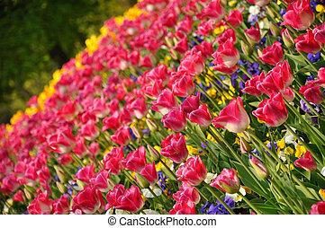 cor-de-rosa, blossing, tulips, em, keukenhof, parque, em, holanda