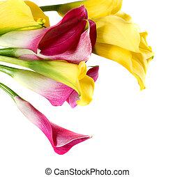 cor-de-rosa, cala, lírios, amarela, grupo