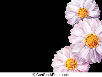 cor-de-rosa, cartão, festivo, isolado, elemento, floral, vetorial, pretas, experiência., convite, design., flores, cartão, saudação