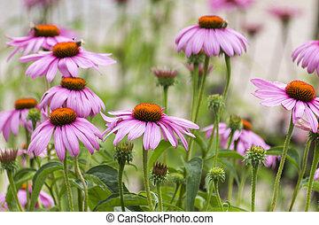 cor-de-rosa, centre., echinacea, purpurea., laranja, medicinal, flores