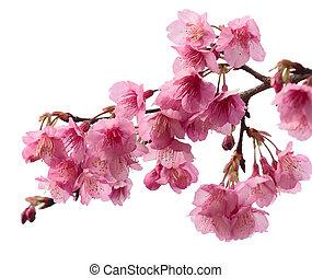 cor-de-rosa, cereja, sakura, flor