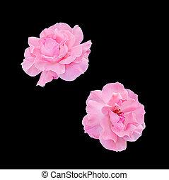 cor-de-rosa, cima, isolado, flores, rosas, fim