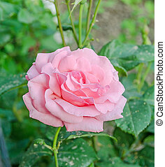 cor-de-rosa, cima, isolado, rosas, fim, flores, broto