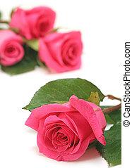 cor-de-rosa, cima, rosas, fundo, fim, branca