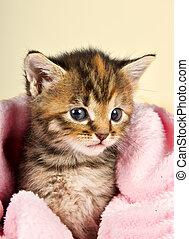 cor-de-rosa, curioso, pequeno, cobertor, gatinho