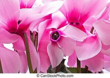 cor-de-rosa, cyclamen, -, cima fim, flores