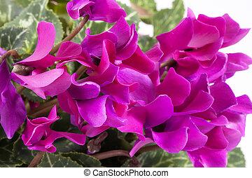 cor-de-rosa, cyclamen, fundo, florescer, flores brancas