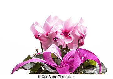 cor-de-rosa, cyclamen, isolado, cima, fundo, fim, flores brancas