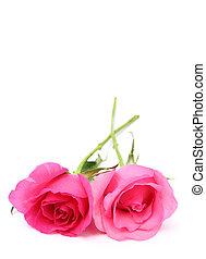 cor-de-rosa, espaço, texto, dois, rosas, fundo, branca