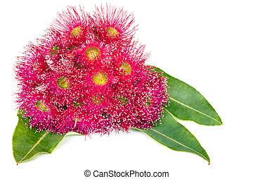 cor-de-rosa, eucalipto, folhas, isolado, flores brancas