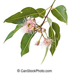 cor-de-rosa, eucalipto, folhas, isolado, flores brancas, brotos
