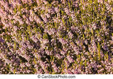 cor-de-rosa, fim, flores, heather, cima