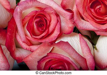 cor-de-rosa, fim, rosa, cima, grupo