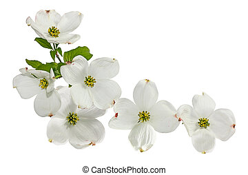 cor-de-rosa, flores brancas, dogwood