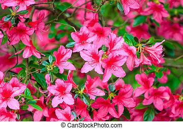 cor-de-rosa, foto, flores, fundo