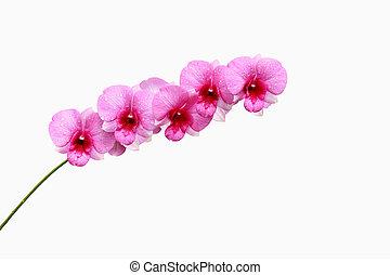 cor-de-rosa, grupo, orquídea