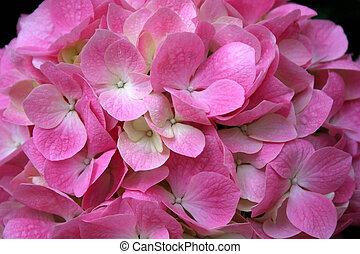 cor-de-rosa, hydrangea
