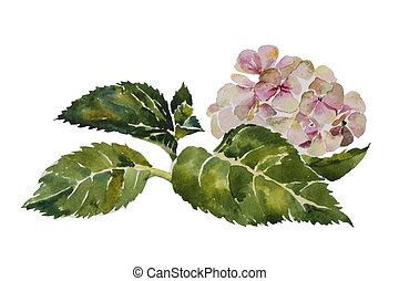 cor-de-rosa, hydrangea, caule, aquarela, fundo, folhas, branca, quadro, original