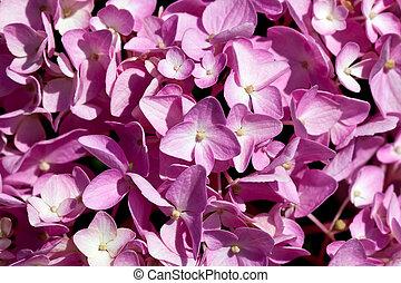 cor-de-rosa, hydrangea, cima, fundo, fim, flores