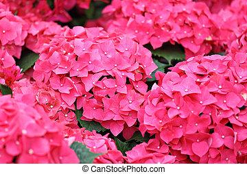 cor-de-rosa, hydrangea, flor