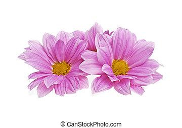 cor-de-rosa, isolado, crisântemo, fundo, flores brancas