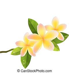 cor-de-rosa, isolado, fundo, flores brancas, frangiapani