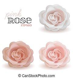 Cor-de-rosa, jogo, realístico,  rosÈ, isolado, fundo, vetorial, branca