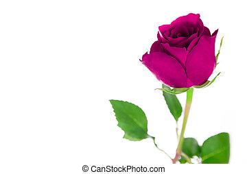 cor-de-rosa levantou-se, único, branca, experiência.