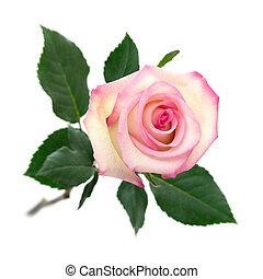 cor-de-rosa levantou-se, branca, abertos