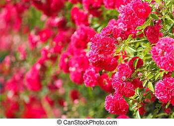 cor-de-rosa levantou-se, bush