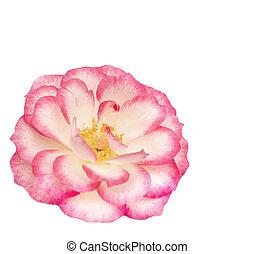 cor-de-rosa levantou-se, flor branca, miniatura