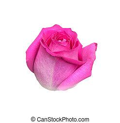 cor-de-rosa levantou-se, fundo branco