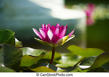 cor-de-rosa, loto, em, lagoa, .flowers, cartão, fundo