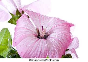 cor-de-rosa, macro, hibisco, flor