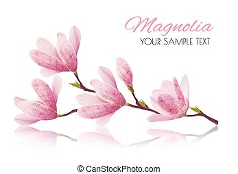 cor-de-rosa, magnolia., flor, ramo, flor, vetorial, fundo