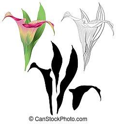 cor-de-rosa, natural, esboço, folhas, vector.eps, calla,...