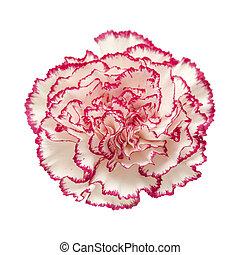 Cor-de-rosa, pétala, escuro, bordas, cravo, branca