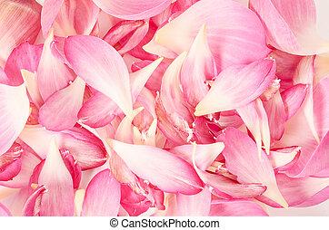 Cor-de-rosa, pétala, loto, flor