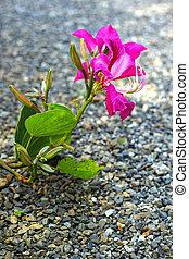 cor-de-rosa, pedra, flor, floor.