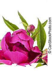 cor-de-rosa, peony, isolado, experiência., flores brancas