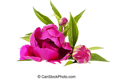 cor-de-rosa, peony, isolado, fundo, flores brancas