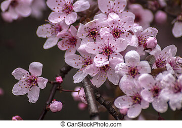 cor-de-rosa, pequeno, prunus, detail., primavera, ramo, cerasifera, flores