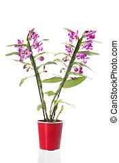cor-de-rosa, planta, flores, dendrobium