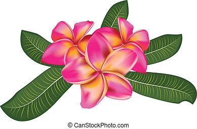 cor-de-rosa, plumeria, com, folhas