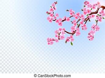 cor-de-rosa, sakura., ramos, buds., cereja, folhas, ilustração, flores, experiência., transparente