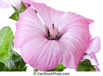 cor-de-rosa, tropicais, hibisco, flor