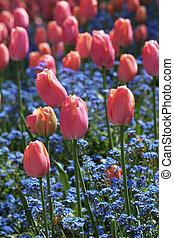 cor-de-rosa, tulips