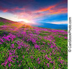 cor-de-rosa, verão, rhododendron, magia, flores, montanhas., amanhecer