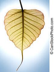 coração amoldou, novo, folha, de, peepal, árvore, em, luz solar