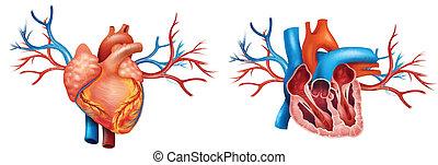 coração anterior, interior, anatomia
